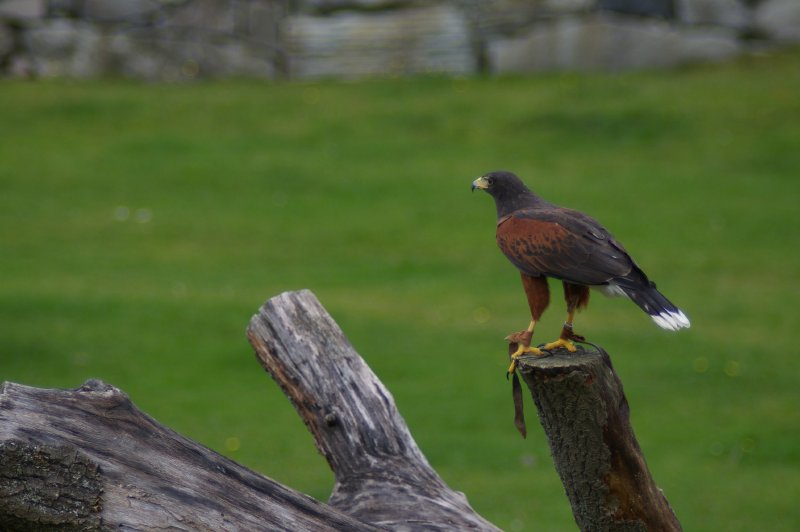 Harris hawk on a tree limb : Free Stock Photo