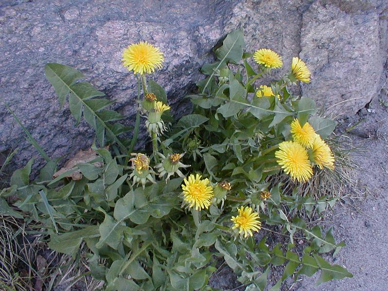 Patch of yellow dandelions growing out of a rock : Free Stock Photo