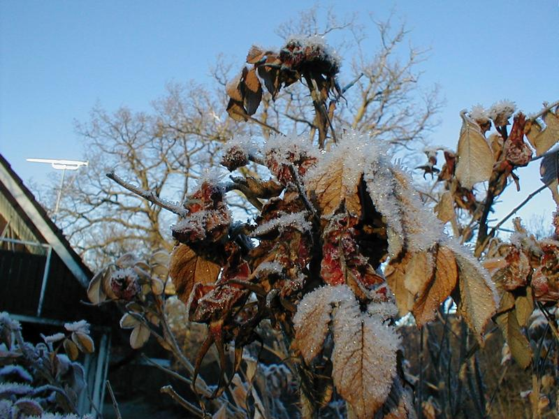 Ice covered leaves on a tree : Free Stock Photo