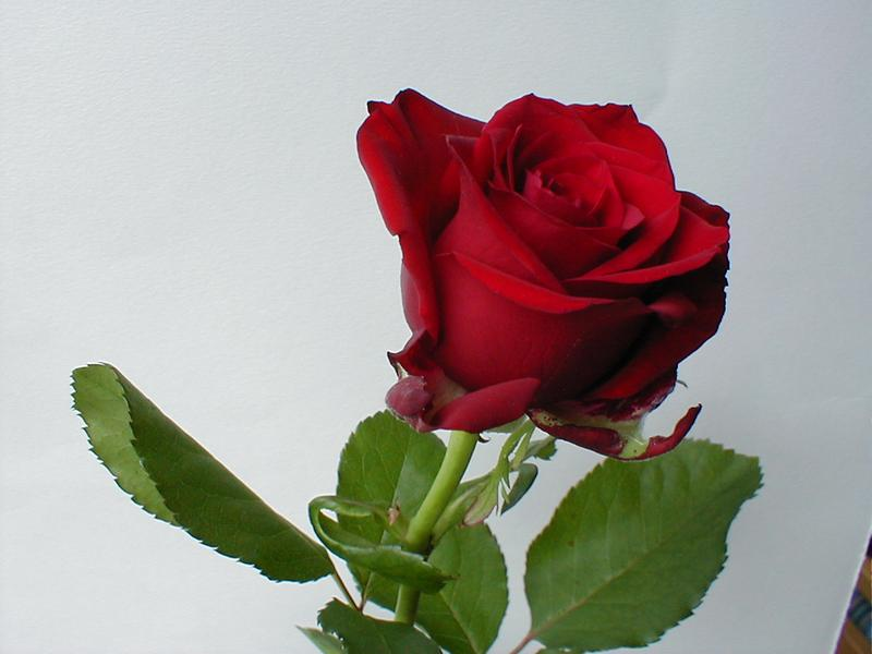Closeup of a red rose on a white background : Free Stock Photo