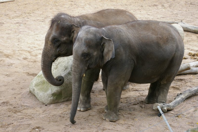 Two Asian elephants standing by a rock : Free Stock Photo