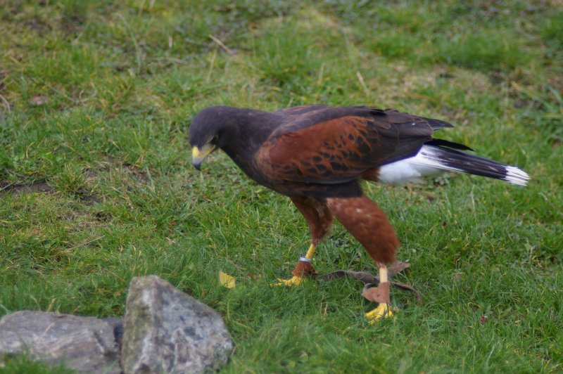 Closeup of a Harris hawk on the ground : Free Stock Photo