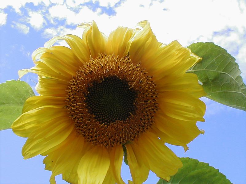 Closeup of a yellow sunflower in a blue sky : Free Stock Photo