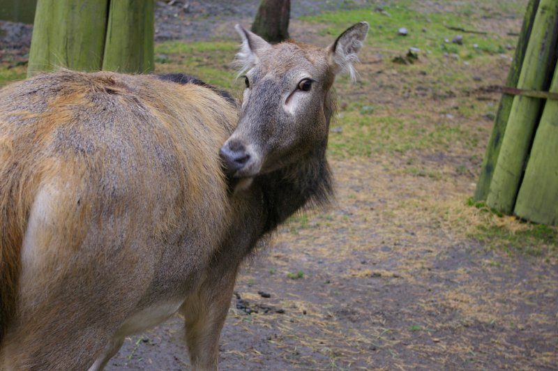 A Pere David's deer turning its head around : Free Stock Photo
