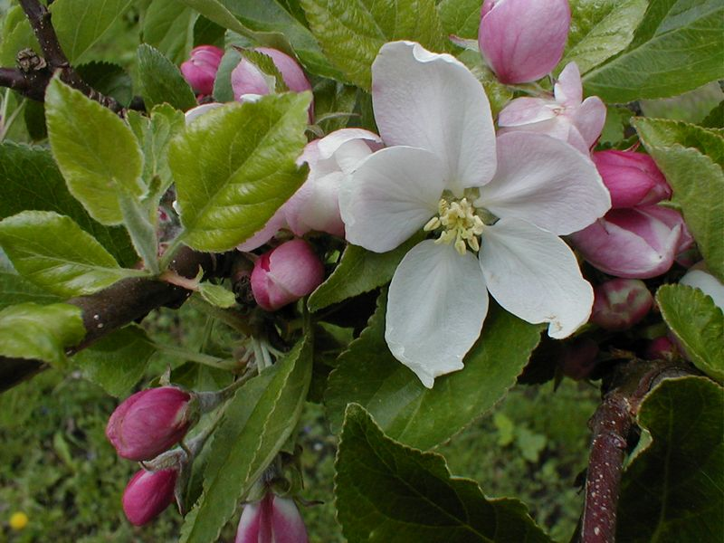 Closeup of an apple tree blossom : Free Stock Photo