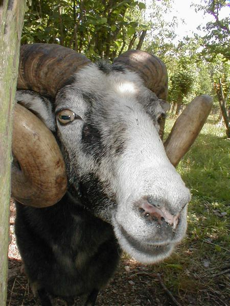 Closeup portrait of a goat with horns : Free Stock Photo