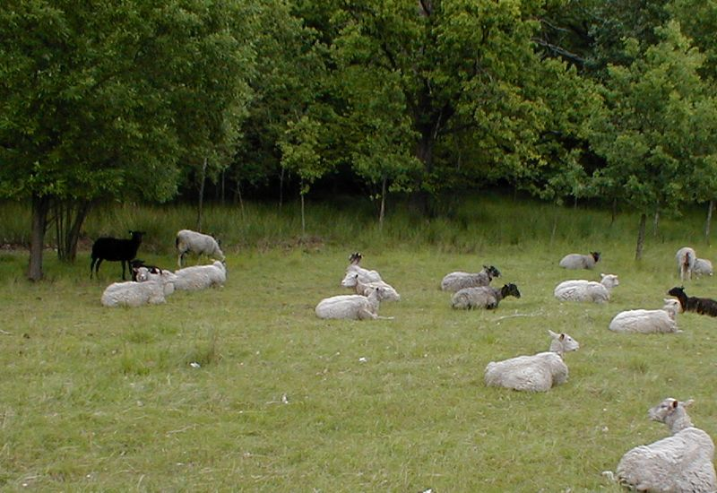 Many sheep sitting around in a field : Free Stock Photo