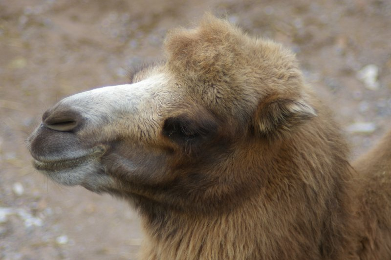 Closeup portrait of a Bactrian camel : Free Stock Photo