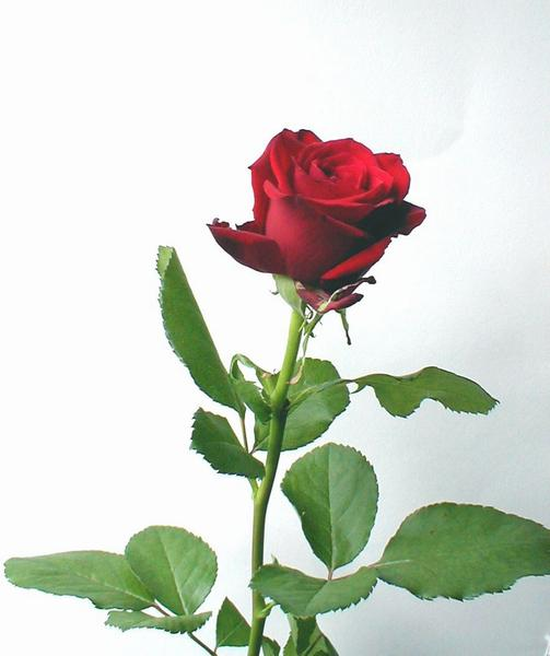 A long stem red rose on a white background.