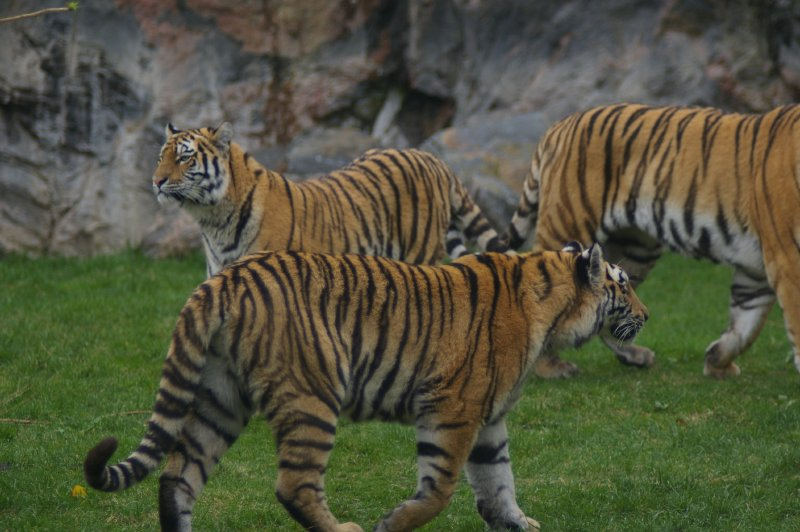 A group of 3 Siberian tigers in the grass : Free Stock Photo
