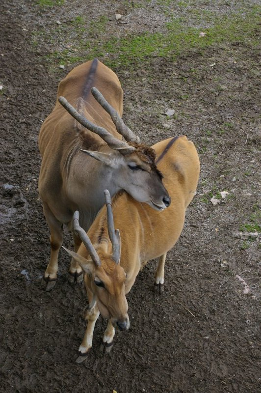 Pair of Eland antelopes leaning on each other : Free Stock Photo