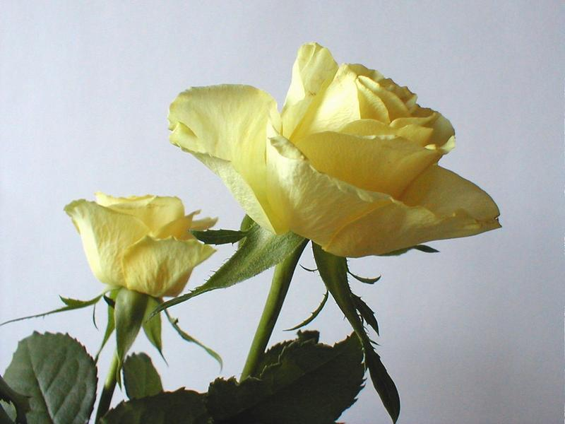 Two large yellow roses on a white background : Free Stock Photo