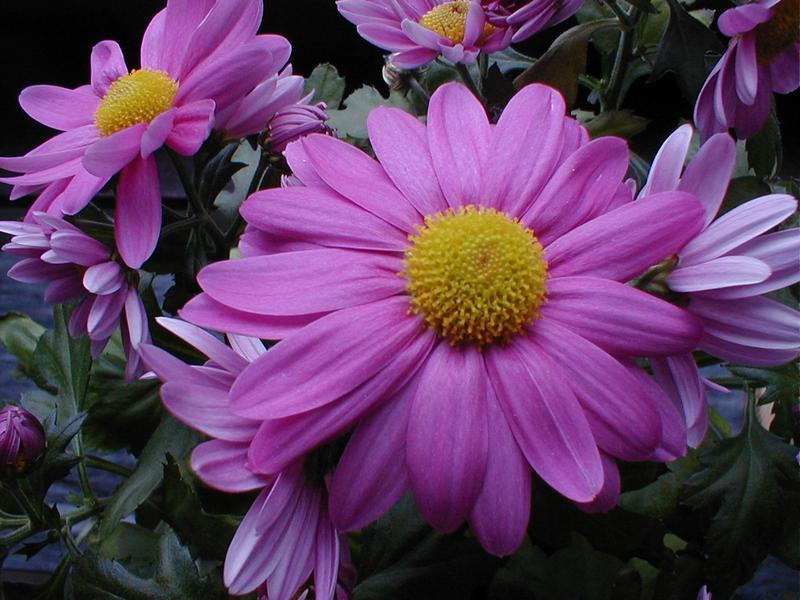Closeup of purple daisies : Free Stock Photo
