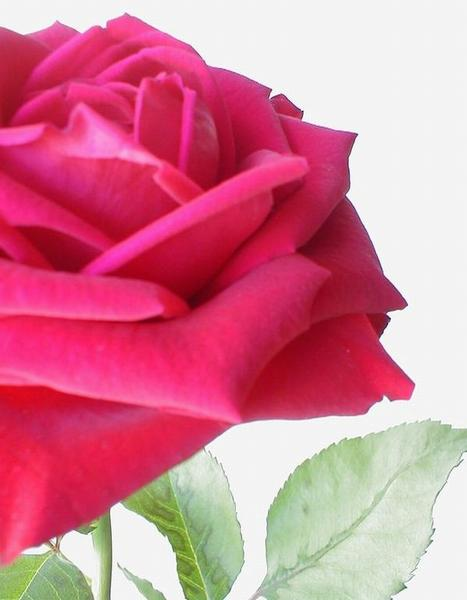 Closeup of a large pink rose : Free Stock Photo