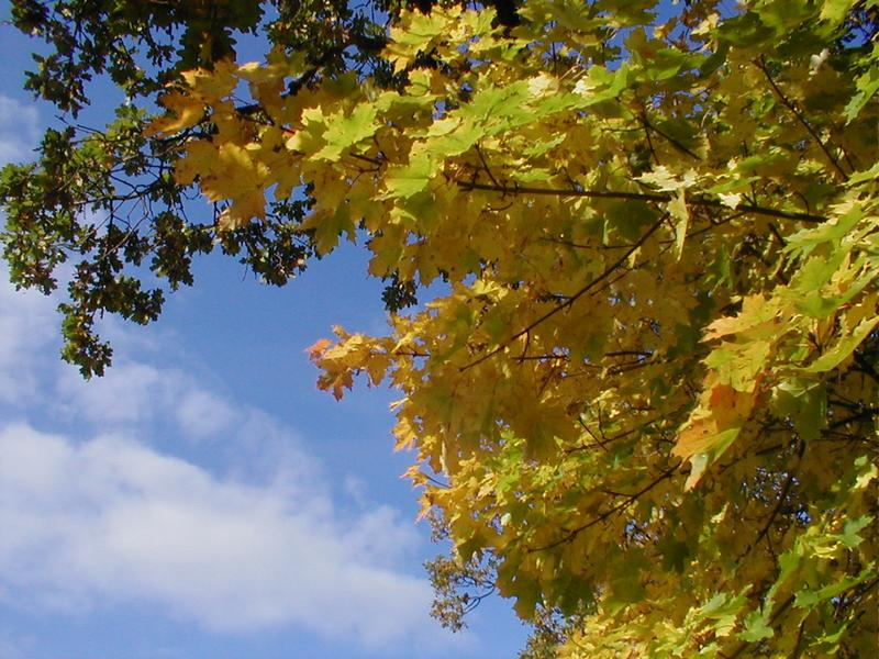 Autumn leaves on a tree with a blue sky background : Free Stock Photo