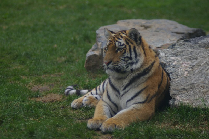 Closeup of a Siberian tiger sitting by a rocks.