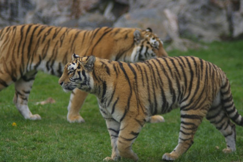 Two Siberian tigers crossing paths : Free Stock Photo