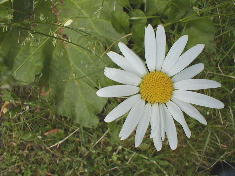 A white daisy in the grass : Free Stock Photo