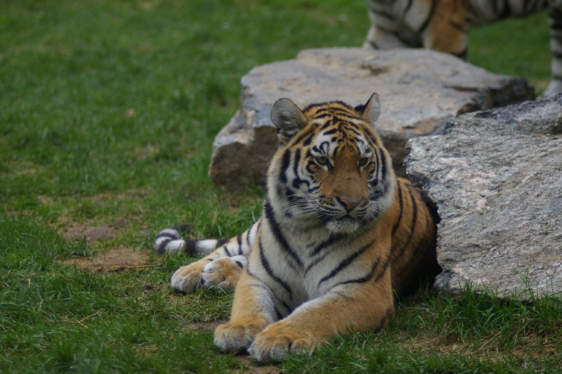 Siberian tiger next to a rock : Free Stock Photo