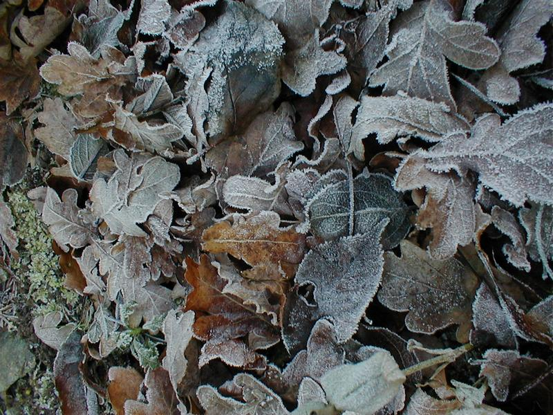 Closeup of frost covered leaves.