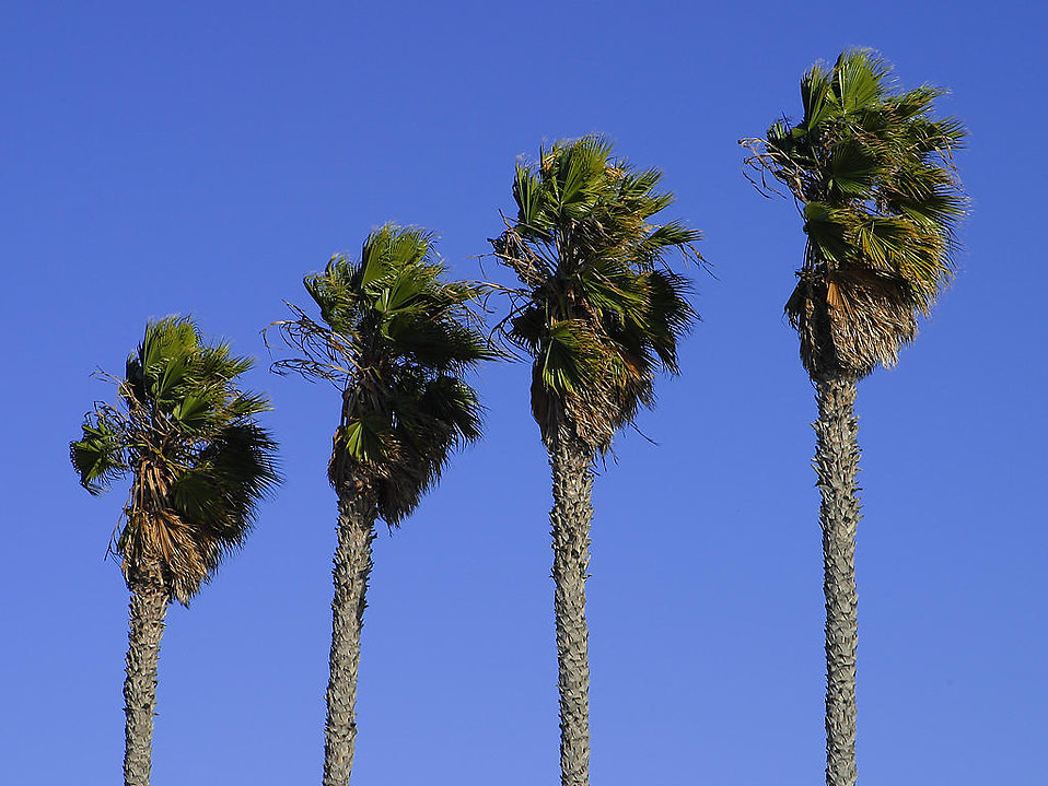 Palm trees : Free Stock Photo
