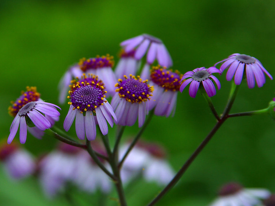 Closeup of purple daisies : Free Stock Photo