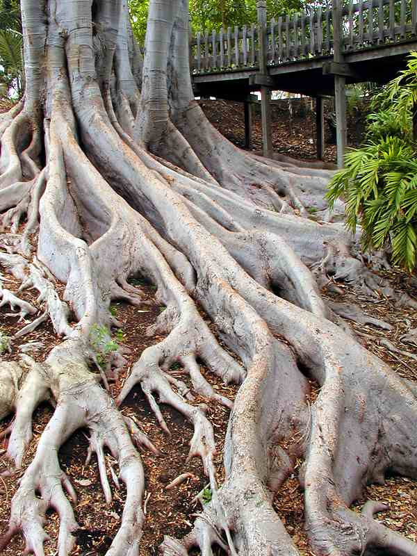 Closeup of large roots of a large tree : Free Stock Photo