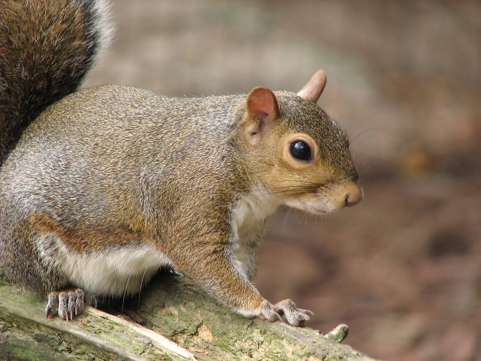 Closeup of a squirrel on a branch : Free Stock Photo