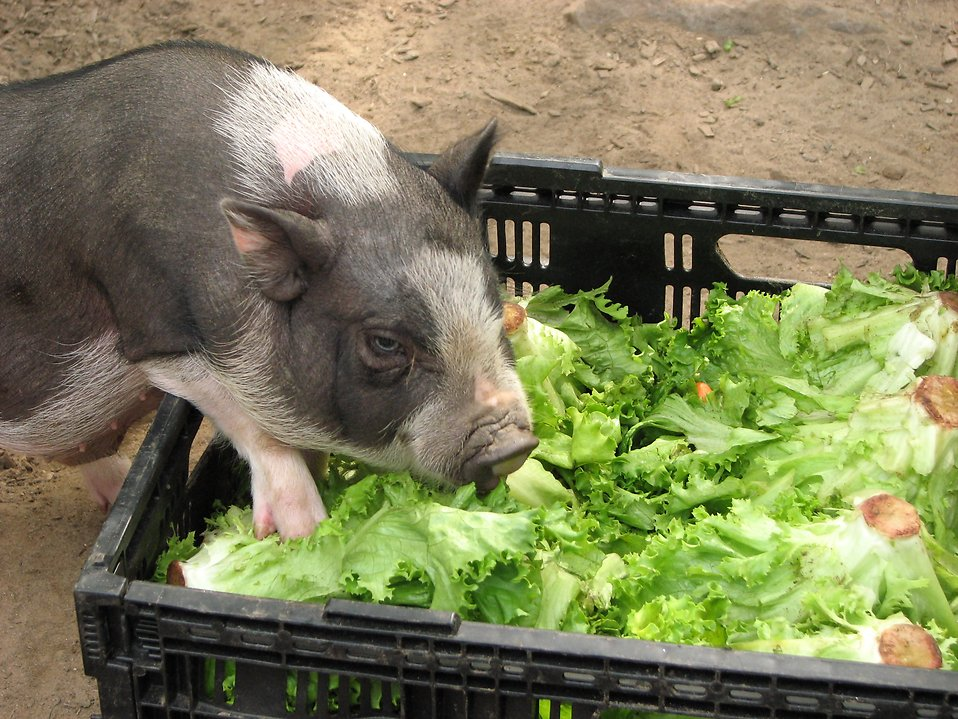 Small pig eating lettuce out of a crate : Free Stock Photo