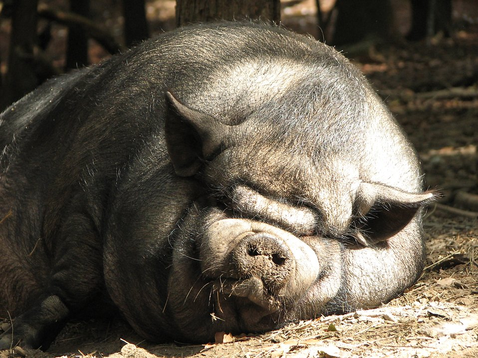 A very large pig sleeping in the dirt : Free Stock Photo