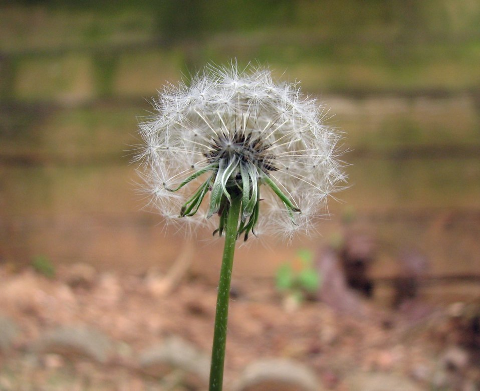 Closeup of a dandelion in a garden : Free Stock Photo