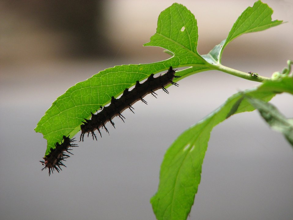Closeup of caterpillars on a green leaf : Free Stock Photo