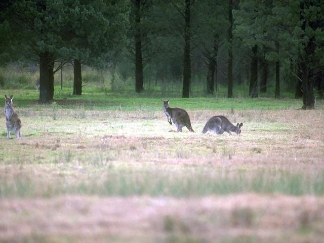 Three kangaroos out in a field : Free Stock Photo