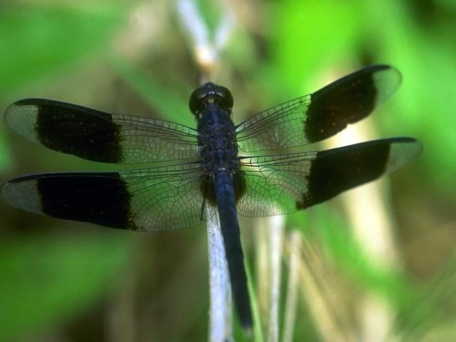 Close-up of a blue dragonfly with black striped wings : Free Stock Photo