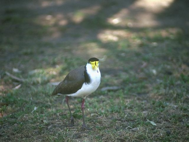 A bird with a yellow and black head : Free Stock Photo