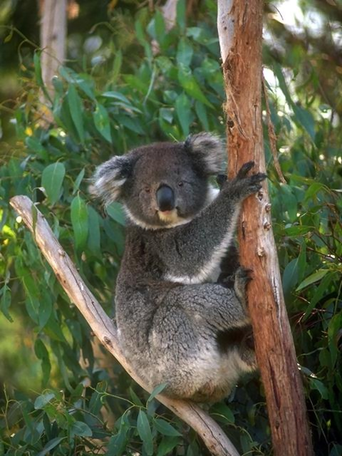 A koala bear sitting in a tree : Free Stock Photo