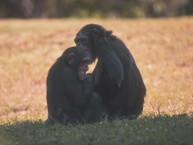 A pair of chimpanzees sitting in the grass : Free Stock Photo