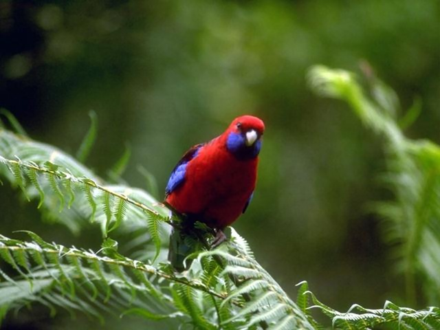 A small red and blue parrot perched on a tree : Free Stock Photo