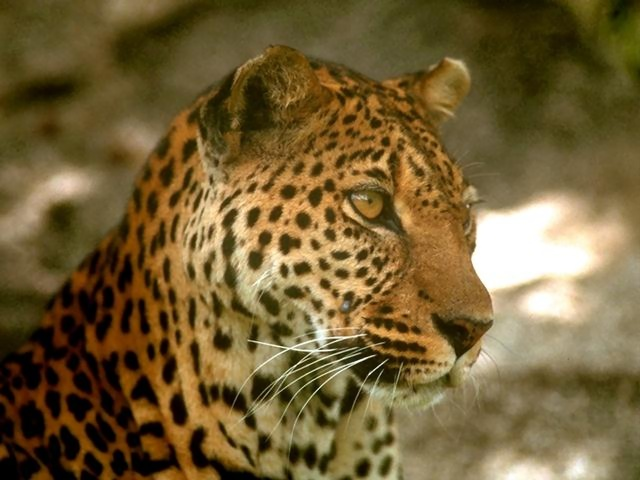 Close-up of a leopard : Free Stock Photo