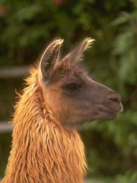 Close-up of a llama : Free Stock Photo