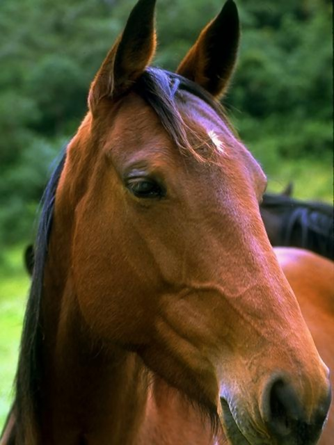 Close-up portrait of a brown horse.