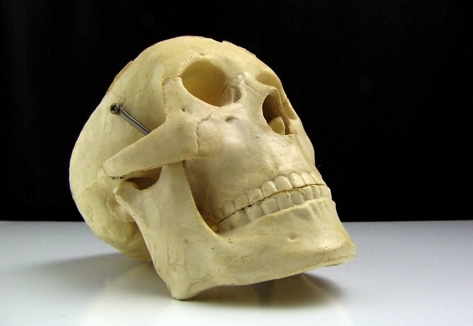 Close-up of a replica human skull : Free Stock Photo