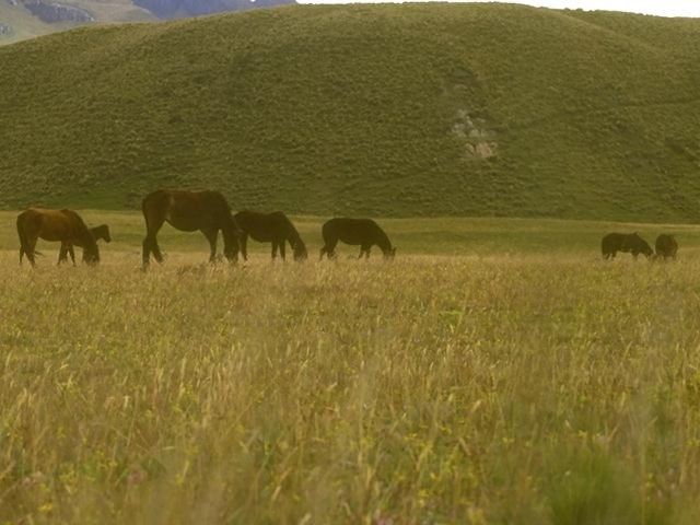 Horses grazing in a grass field : Free Stock Photo