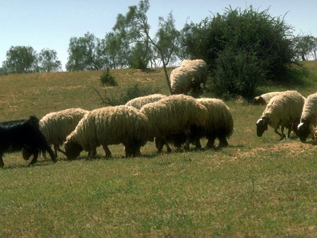 A small flock of sheep on a hill : Free Stock Photo