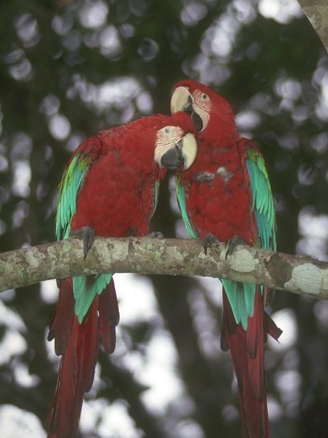 Two red and green parrots on a branch : Free Stock Photo
