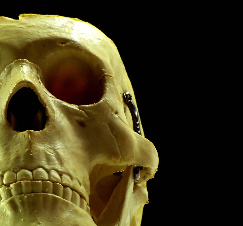 Close-up of a human skull replica : Free Stock Photo