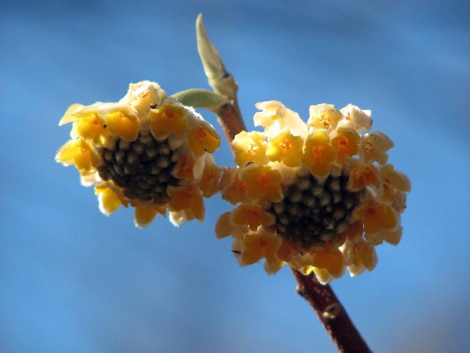 Closeup of a yellow Oriental Paper Bush flower : Free Stock Photo