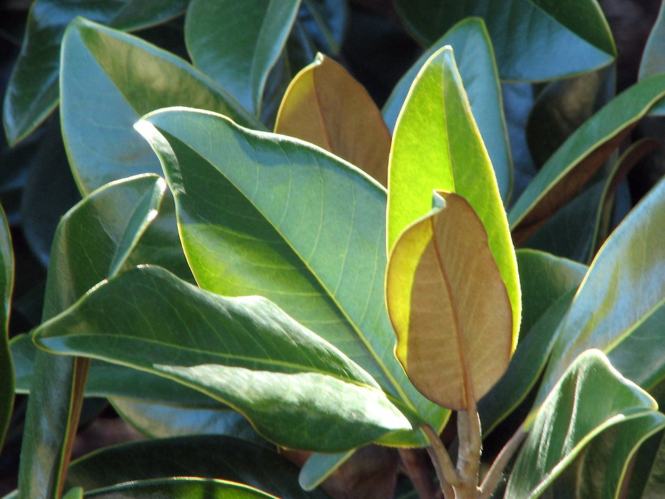 Closeup of magnolia leaves : Free Stock Photo