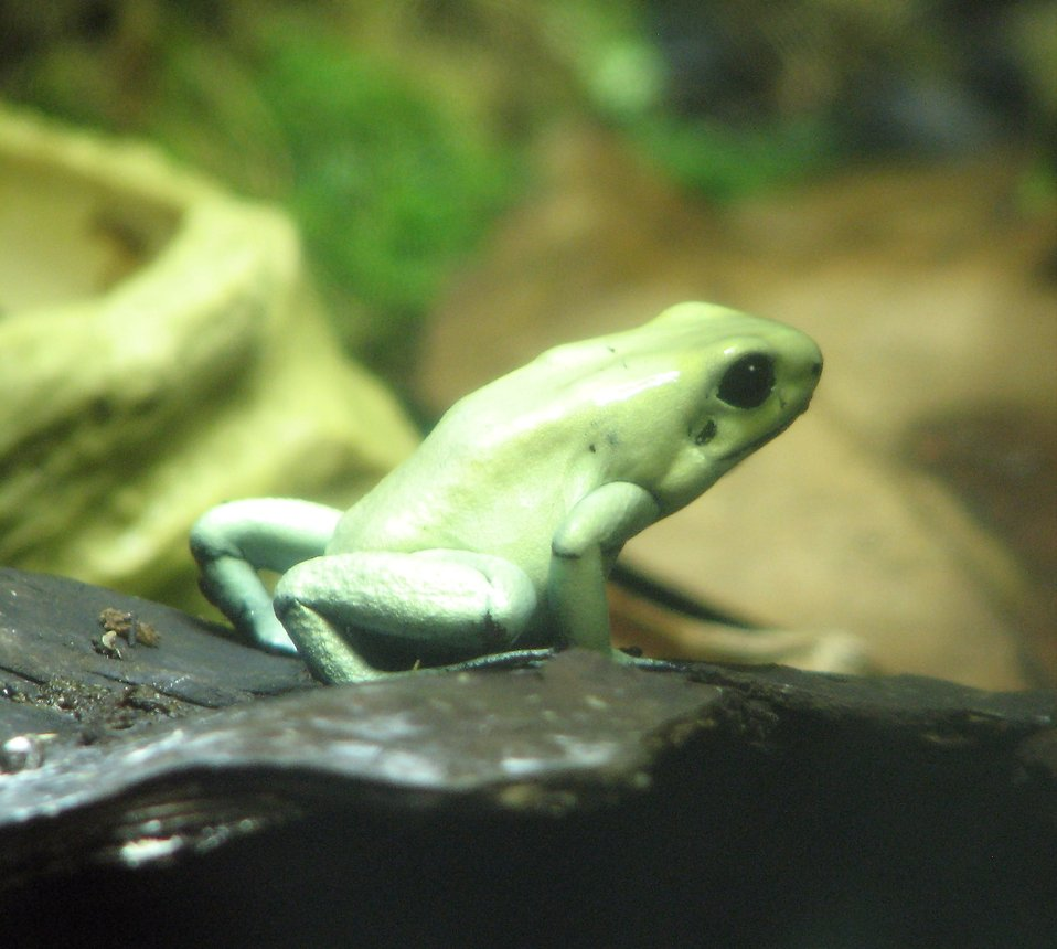 Closeup of a green posionous frog : Free Stock Photo