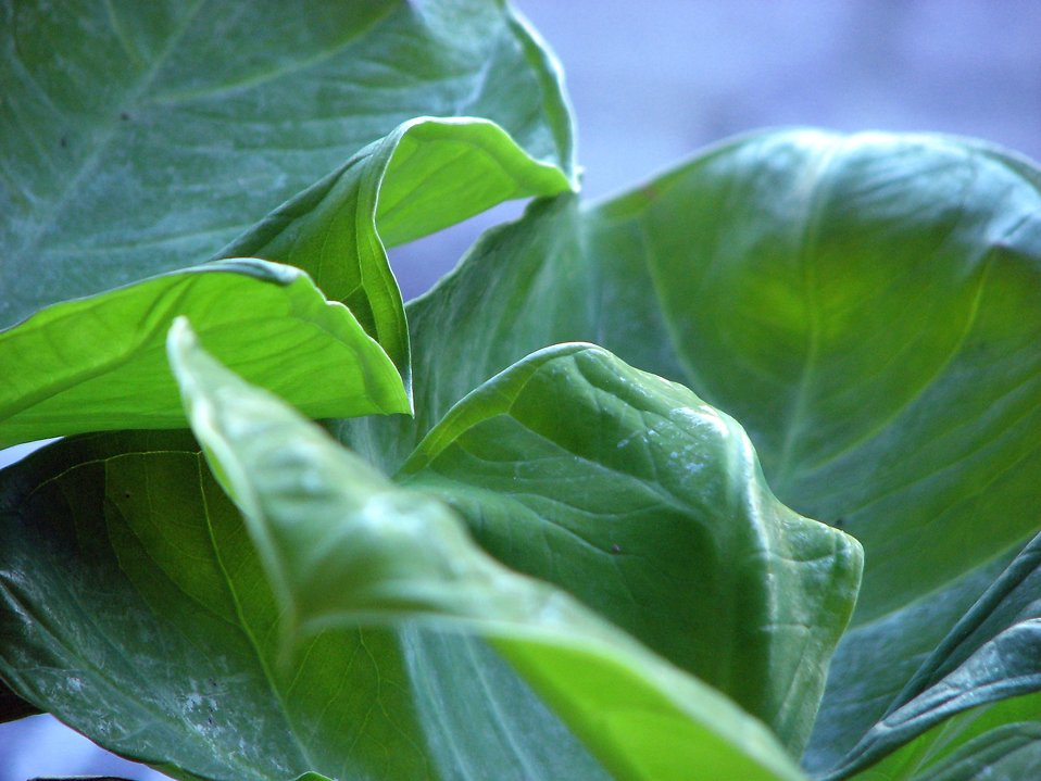 Closeup of large green leaves : Free Stock Photo